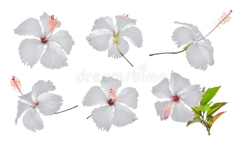 Set of white hibiscus or chaba flower isolated on white. Background stock images