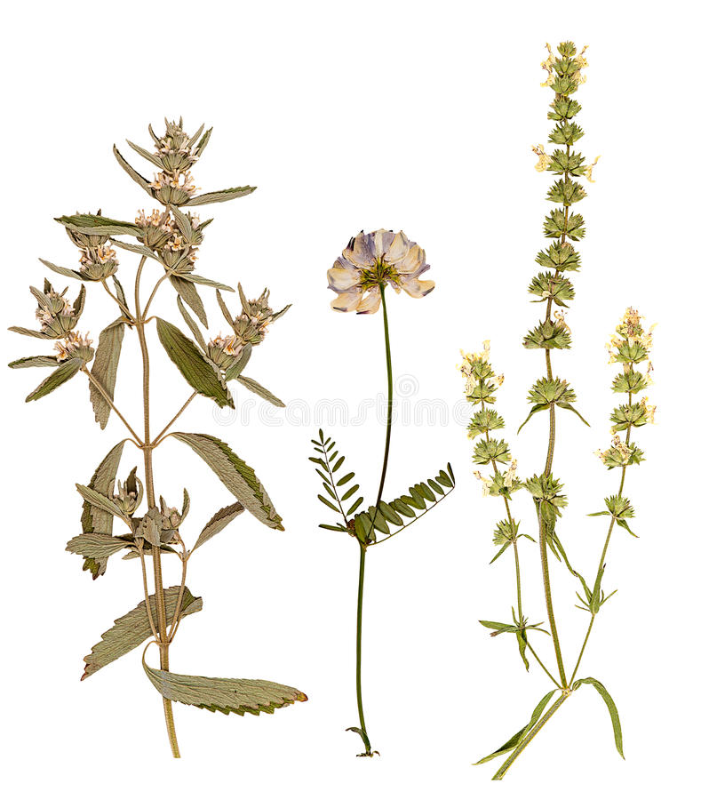 Set of wild dry pressed flowers and leaves stock images