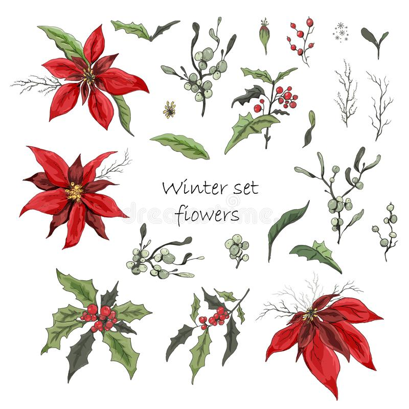 Set of winter flowers poinsettia, white mistletoe, Holly isolated on a white background. realistic hand-drawn doodles, colorful royalty free stock photo