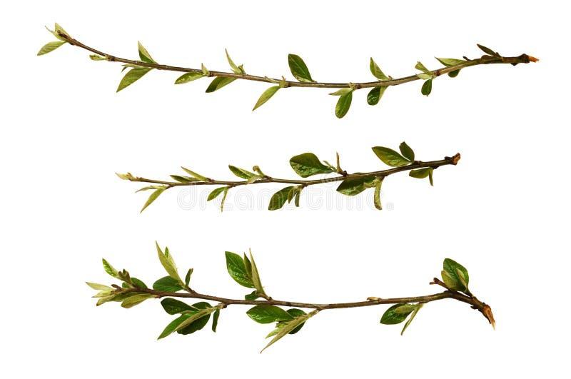 Set wiosen świeże gałązki z zielenią pączkuje i opuszcza fotografia stock
