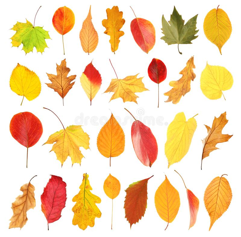 Free Set With Autumn Leaves On White Background. Royalty Free Stock Images - 131945449