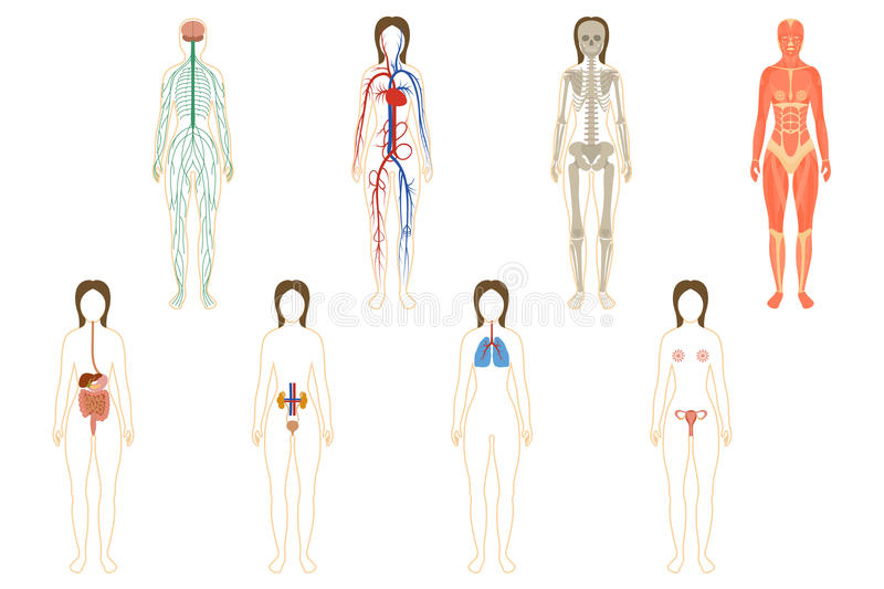 Set Of Woman Organs And Systems Stock Image - Image of medicine ...