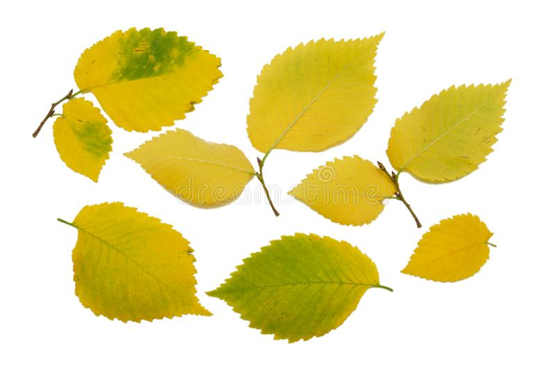 Set of yellow autumn elm leaves isolated on white background. Texture close-up stock images