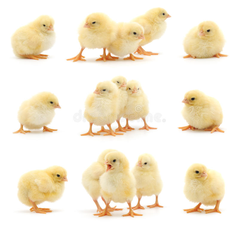 Set of yellow chickens. Set of yellow chickens on white. Studio shot royalty free stock image