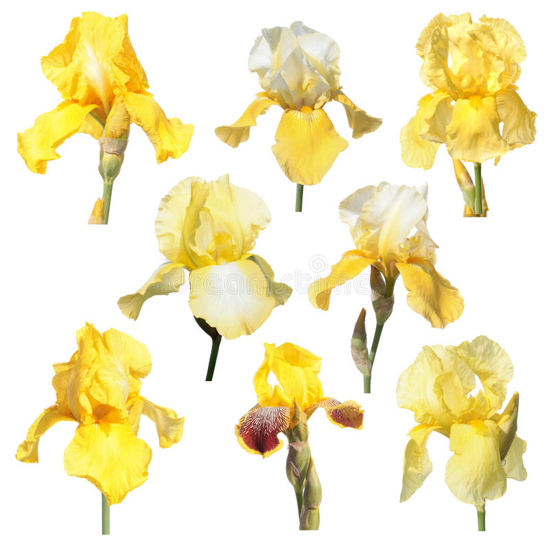 Set of yellow iris flowers isolated on white background stock image