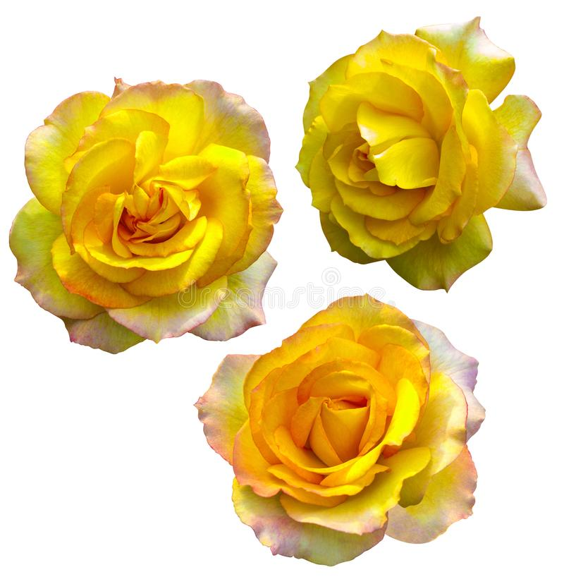 Set of yellow roses isolated on white background royalty free stock photography