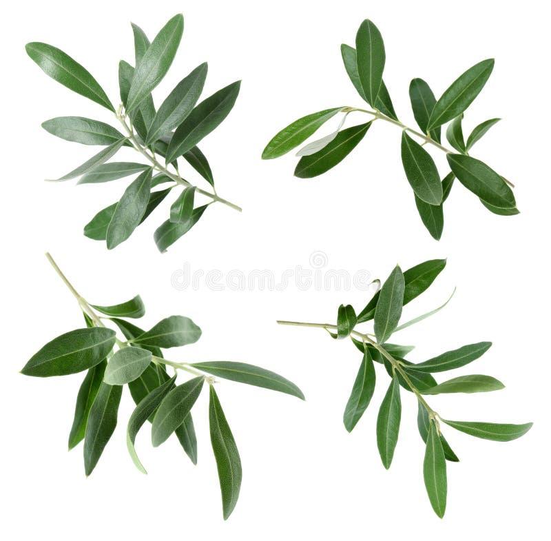 Set z zielonej oliwki liśćmi i gałązkami obrazy royalty free