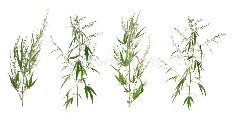 Set z zielonymi konopianymi roślinami fotografia stock