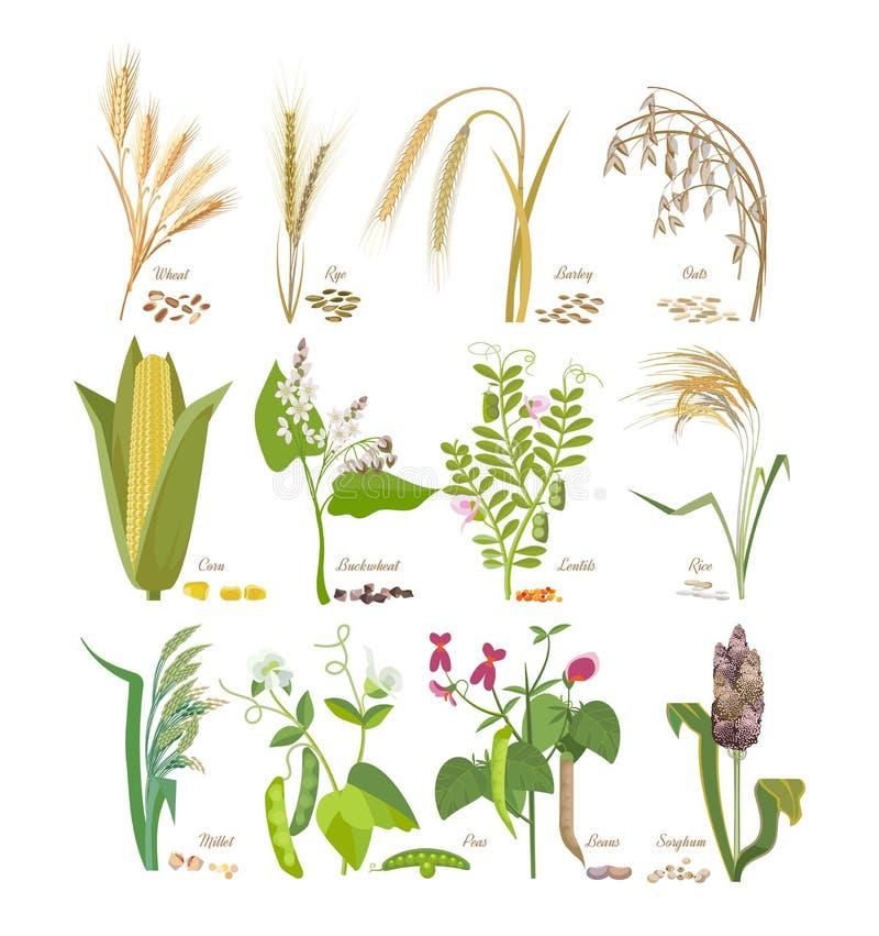 Set zboża i legumes rośliny z liśćmi i kwiatami ilustracji