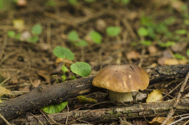 Seta Borovik en el claro del bosque fotos de archivo