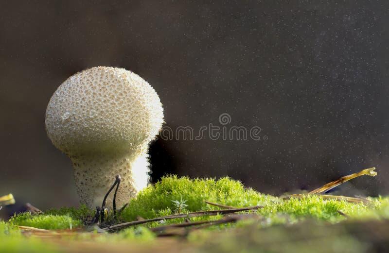 Seta común del puffball - perlatum del Lycoperdon - que crece en cierre verde del musgo de esfagno imagen de archivo
