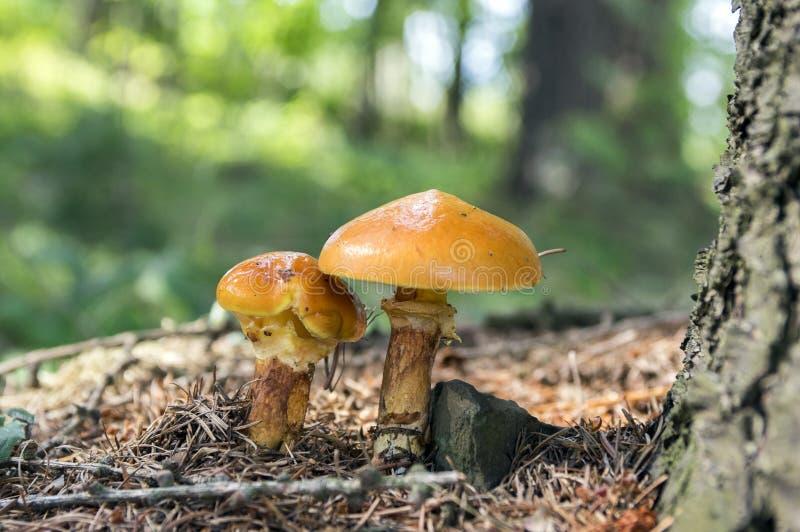 Seta comestible del bosque del grevillei de dos suillus foto de archivo