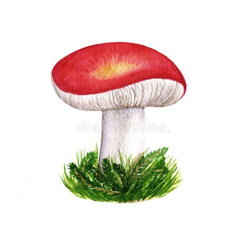 Seta comestible del bosque salvaje del otoño de la acuarela con el casquillo rojo de la belleza en hierba Objeto aislado en el fo ilustración del vector