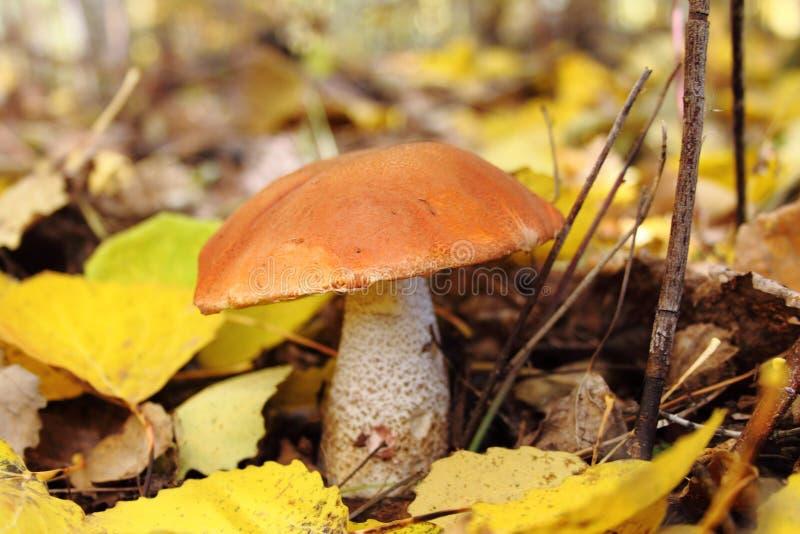 Seta con el sombrero rojo foto de archivo libre de regalías