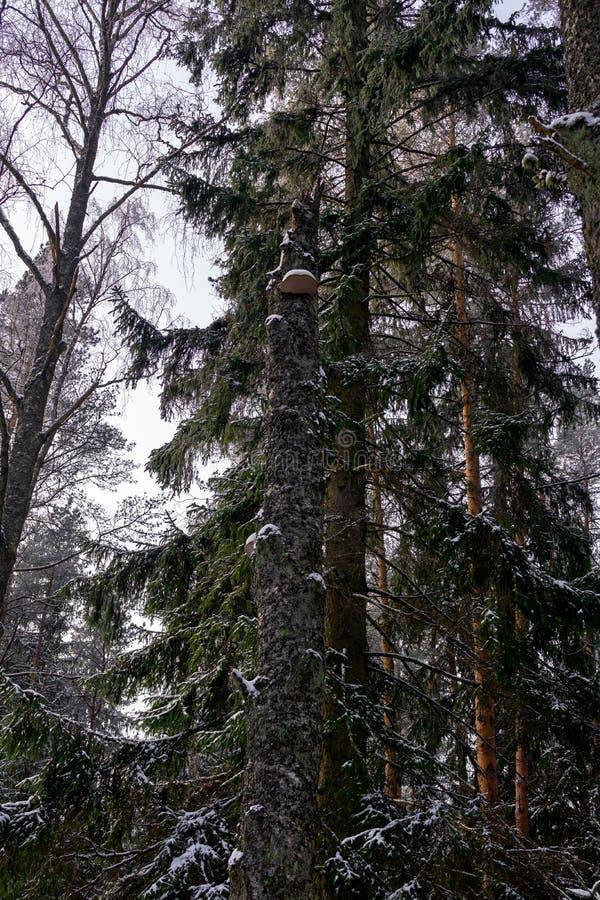 Seta de Chaga en un abedul quebrado en bosque del invierno foto de archivo libre de regalías