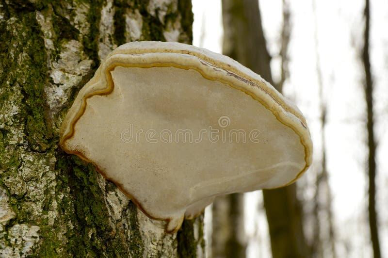 seta de madera grande en la corteza de un árbol foto de archivo libre de regalías