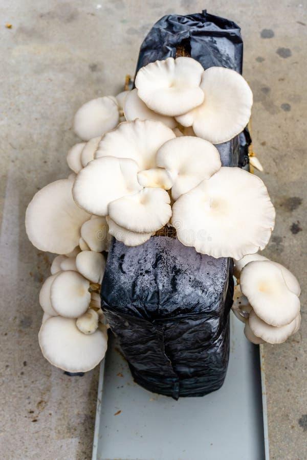 Seta de ostra u ostreatus del Pleurotus como ruido de fondo fácilmente cultivado foto de archivo