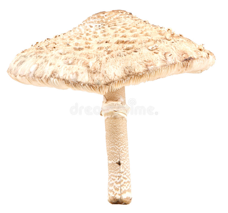 Seta de parasol aislada imagen de archivo