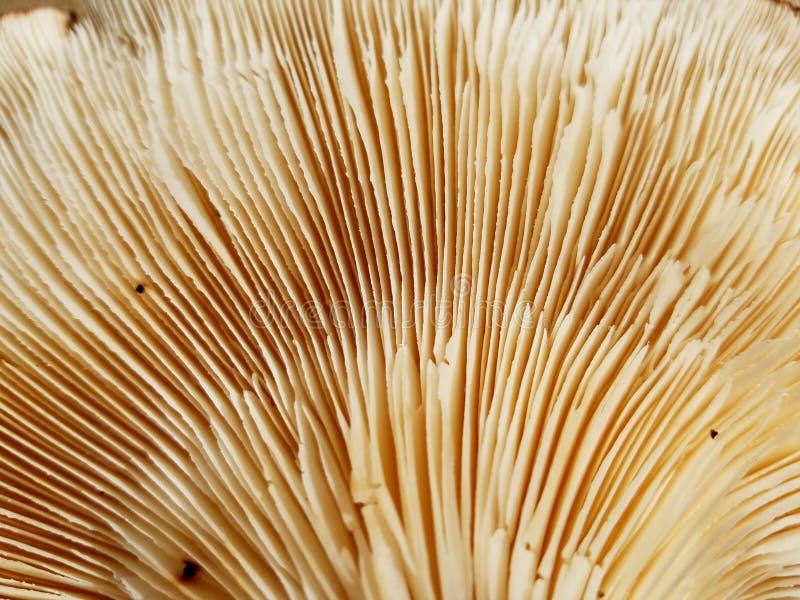 Seta de shiitake orgánica - ascendente cercano fotografía de archivo