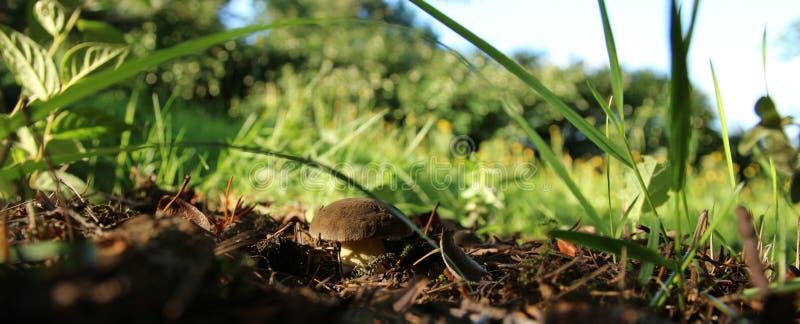 Seta del Cep que crece en bosque del otoño fotos de archivo libres de regalías