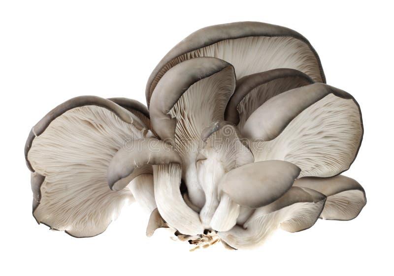 Seta del Pleurotus imagenes de archivo