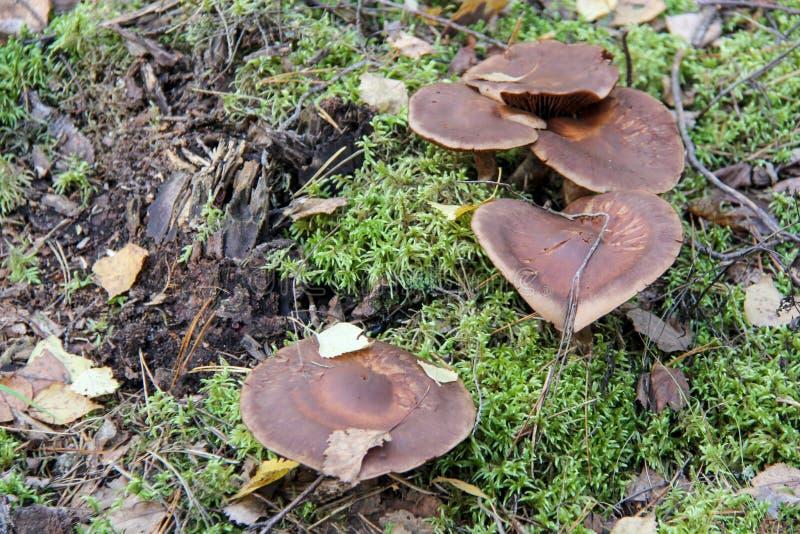 Download Seta En El Bosque Del Musgo Imagen de archivo - Imagen de venenoso, bosque: 100530331