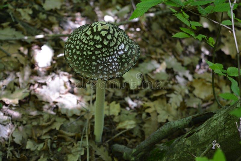 Seta grande que crece en el bosque fotos de archivo