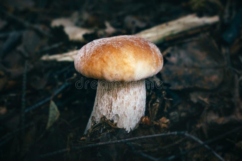 Seta hermosa en un fondo oscuro en el primer del bosque Bollo sabroso comestible del penique de la seta, porcini, cep foto de archivo