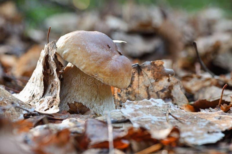 Seta ligera, pequeña y gruesa del boleto del rey en el cierre del bosque para arriba Rodeado por las agujas del pino y las hojas  foto de archivo