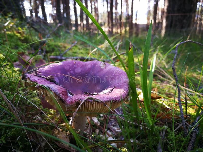Seta púrpura en el bosque fotografía de archivo libre de regalías