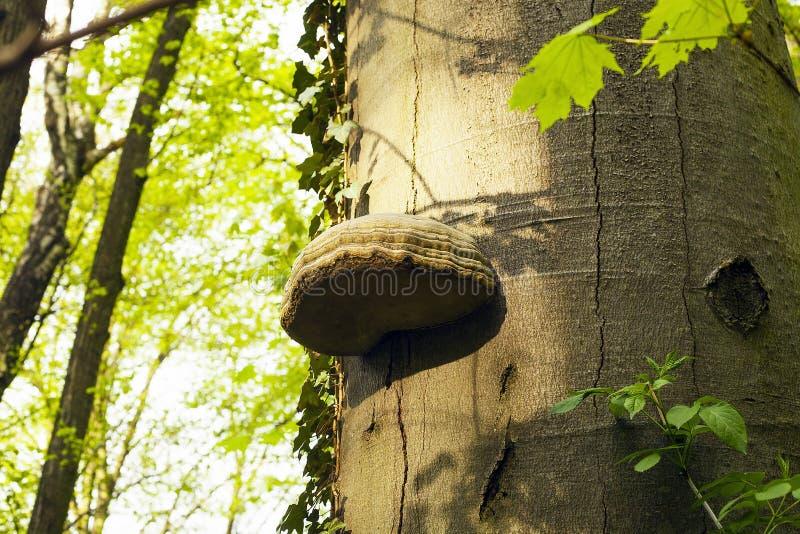 Seta Polypores e hiedra en árbol en bosque imagen de archivo libre de regalías