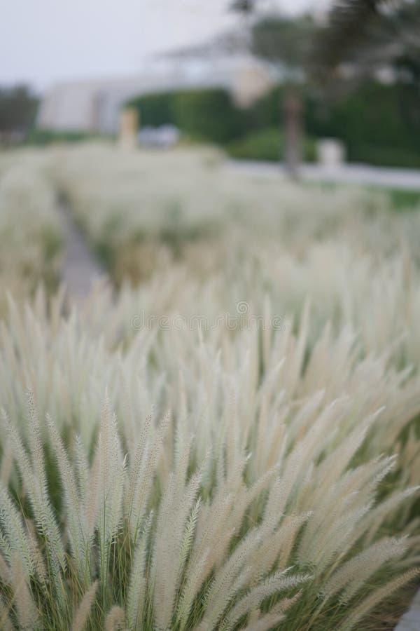Setaceum del Pennisetum, hierba de fuente africana, hierba de fuente blanda, hierba de la decoración fotos de archivo libres de regalías