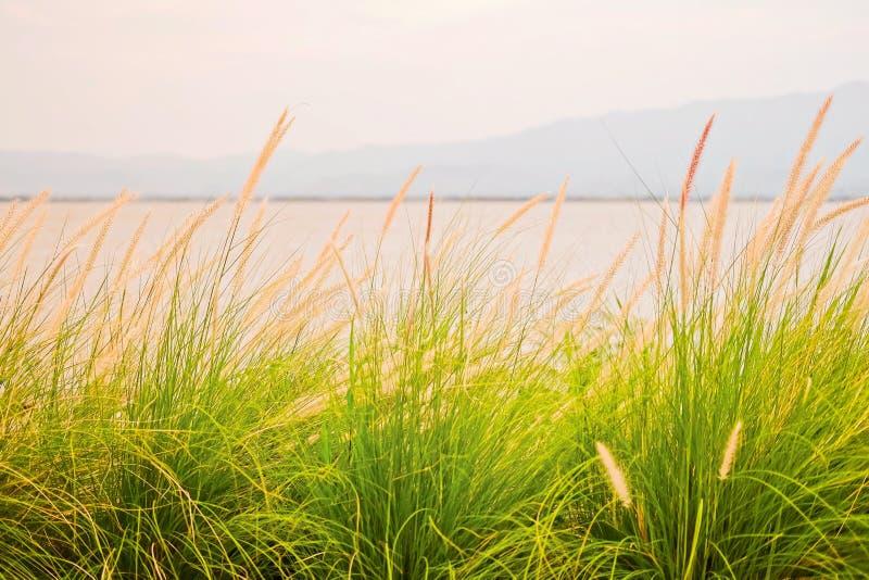 setaceum o Pennisetum alopecuroides) del nisetum; est? floreciendo en el jard?n al lado del lago Phayao imagen de archivo