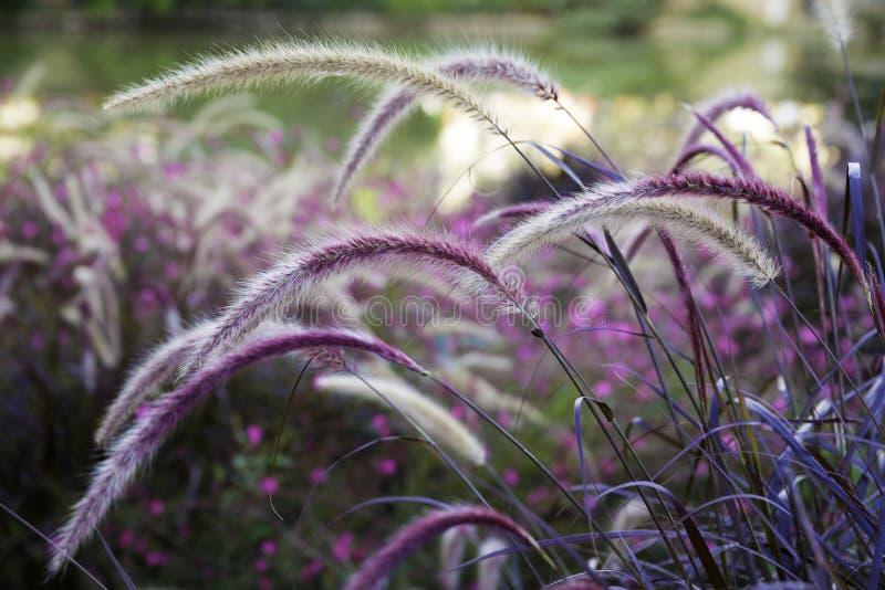 Setaria dell'erba selvatica che ondeggia nel vento fotografia stock