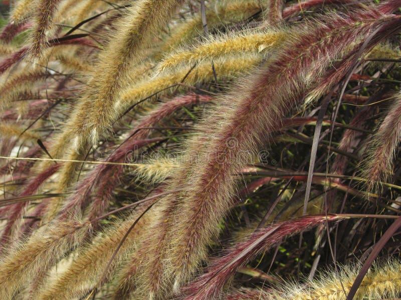 Download Setaria Italica Red Jewel - Red Bristle Grass Stock Image - Image: 20823173