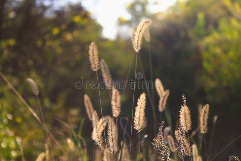 Setaria pumila, gele vossestaart, geel varkenshaar-gras, duifgras of cattail bedekt met gras stock foto's