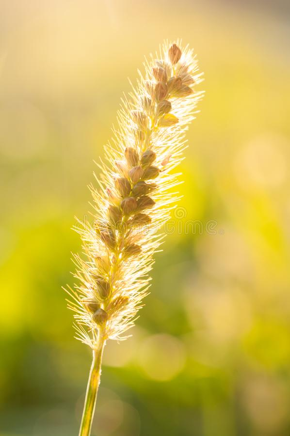 Setaria pumila glauca also known as yellow foxtail, golden foxtail,. Grass species native to Europe, but it is known throughout the world as a common weed royalty free stock image