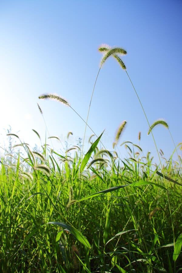 Setaria viridis. With blue sky royalty free stock images