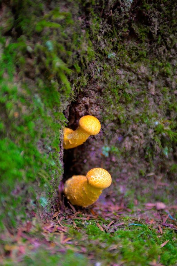 Setas amarillas, alucinógeno, efecto de la falta de definición, ingredientes estacionales, Forest Ground, veneno fotos de archivo libres de regalías