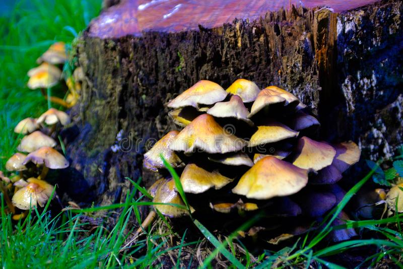 Setas amarillas que crecen salvajes, conexión Forest Ground, ingredientes estacionales fotos de archivo