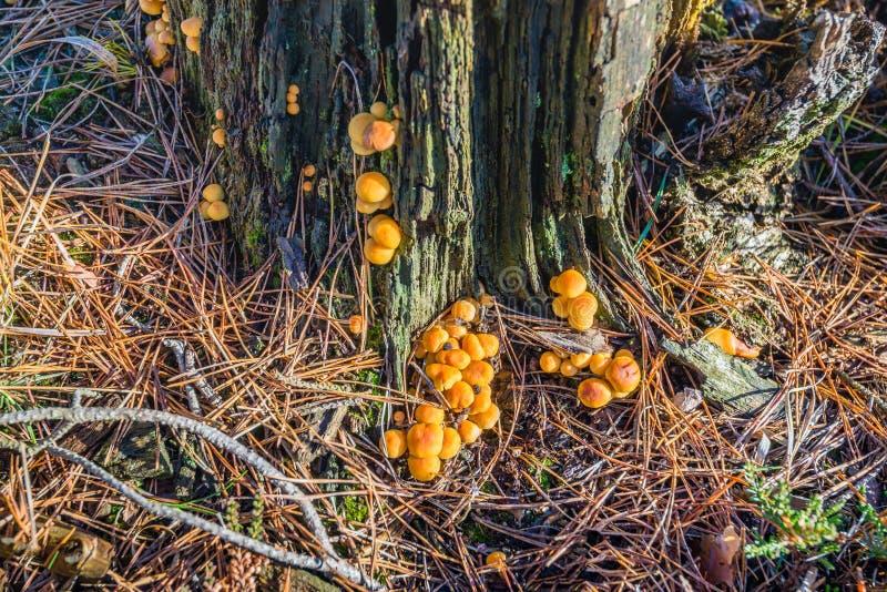 Setas anaranjadas esféricas en la corteza de un árbol de pino de muerte de foto de archivo