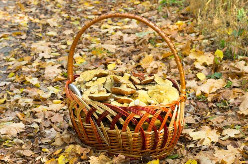 Setas, cesta de mimbre y cuchillo de cocina Recogida de setas en el bosque en oto?o fotografía de archivo libre de regalías