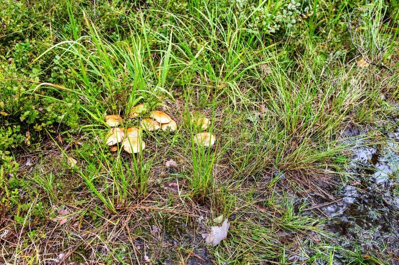 Setas comestibles del bosque con los casquillos amarillos imagenes de archivo