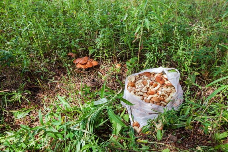 Setas comestibles del bosque en la hierba imagenes de archivo