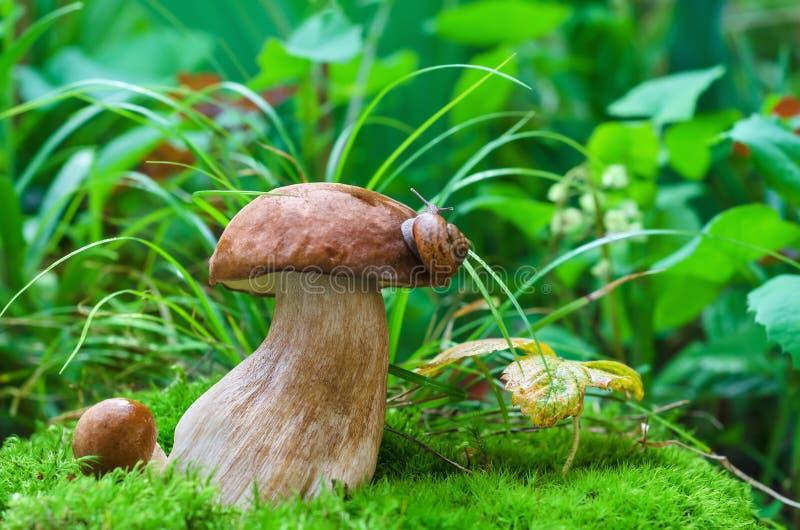 Setas comestibles en el bosque en un fondo verde, una seta blanca y un caracol foto de archivo libre de regalías