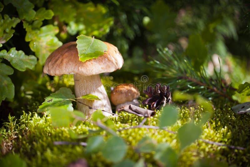 Setas comunes en bosque fotos de archivo libres de regalías