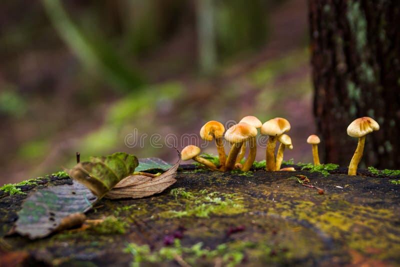 Setas del verna de la amanita en el bosque Canadá foto de archivo