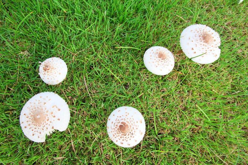 Setas en la hierba. foto de archivo libre de regalías