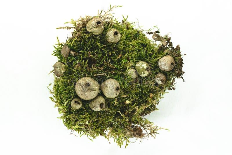 Setas fungosas del Puffball en Moss Background Isolated verde en la superficie blanca del fondo fotos de archivo libres de regalías