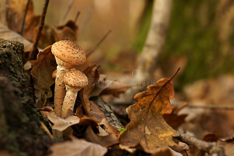 Setas, otoño del Armillaria del hongo de miel imágenes de archivo libres de regalías